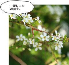 kukiko